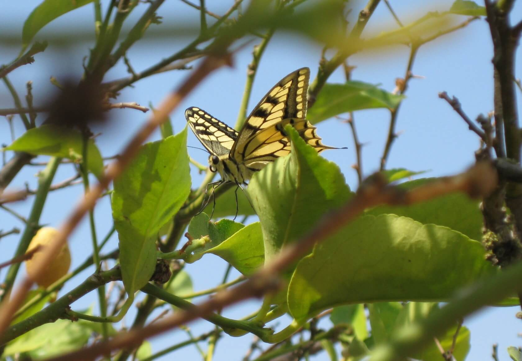 Schwalbenschwanz Schmetterling in Algarve Zitronenbaum