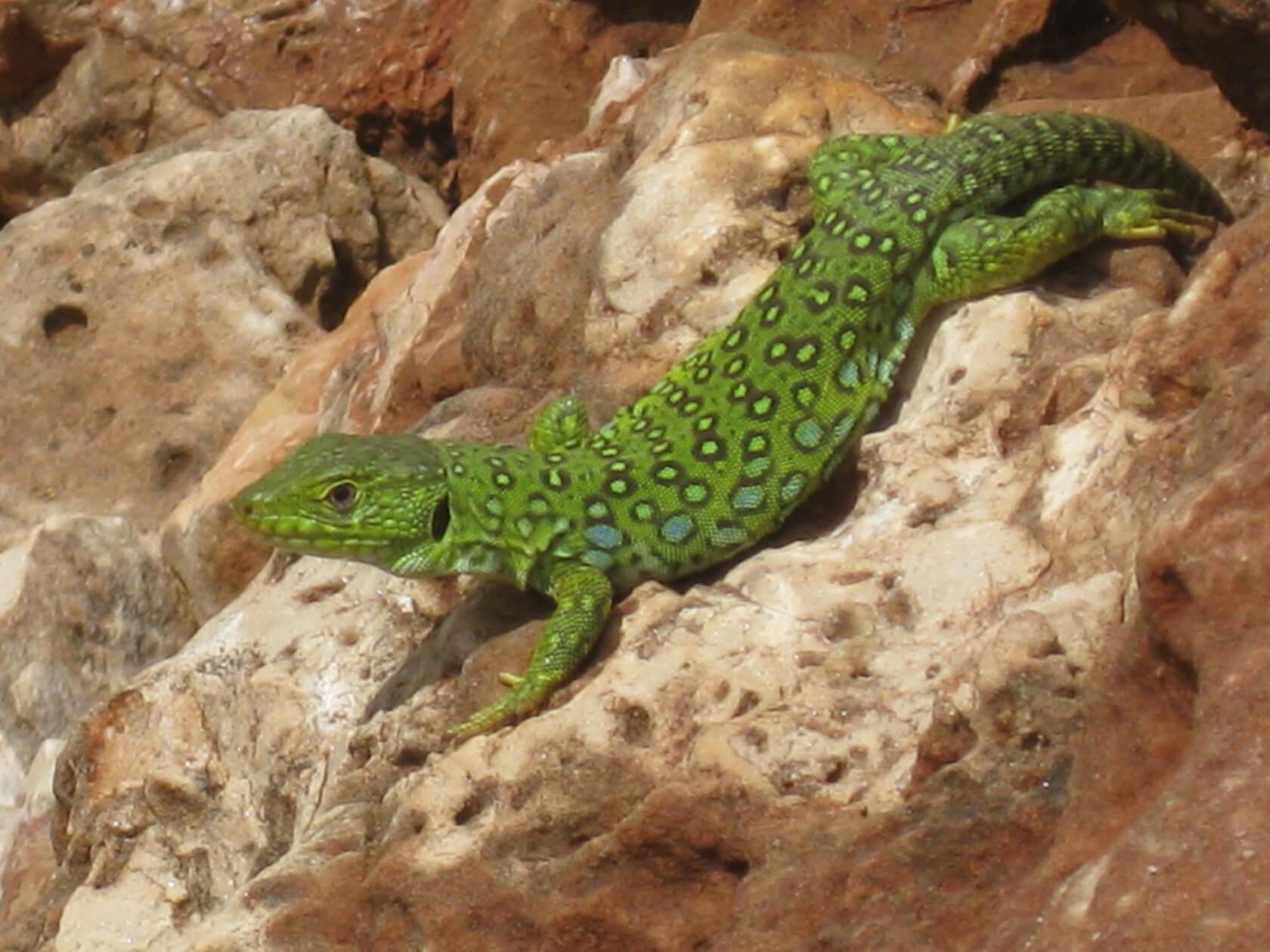 Algarve Natur Smaragdeidechse auf Fels