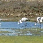 Noch gibt es sie: Flamingos in der Lagune am Meer