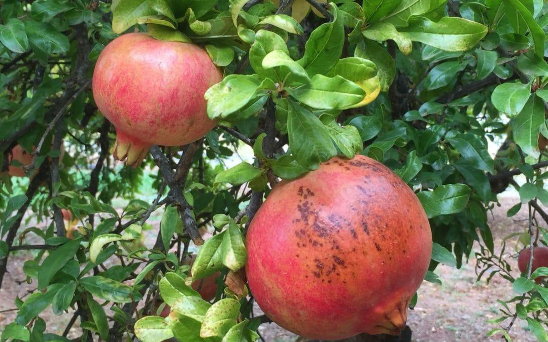 Ode an den Granatapfel – ein göttlicher Genuss!