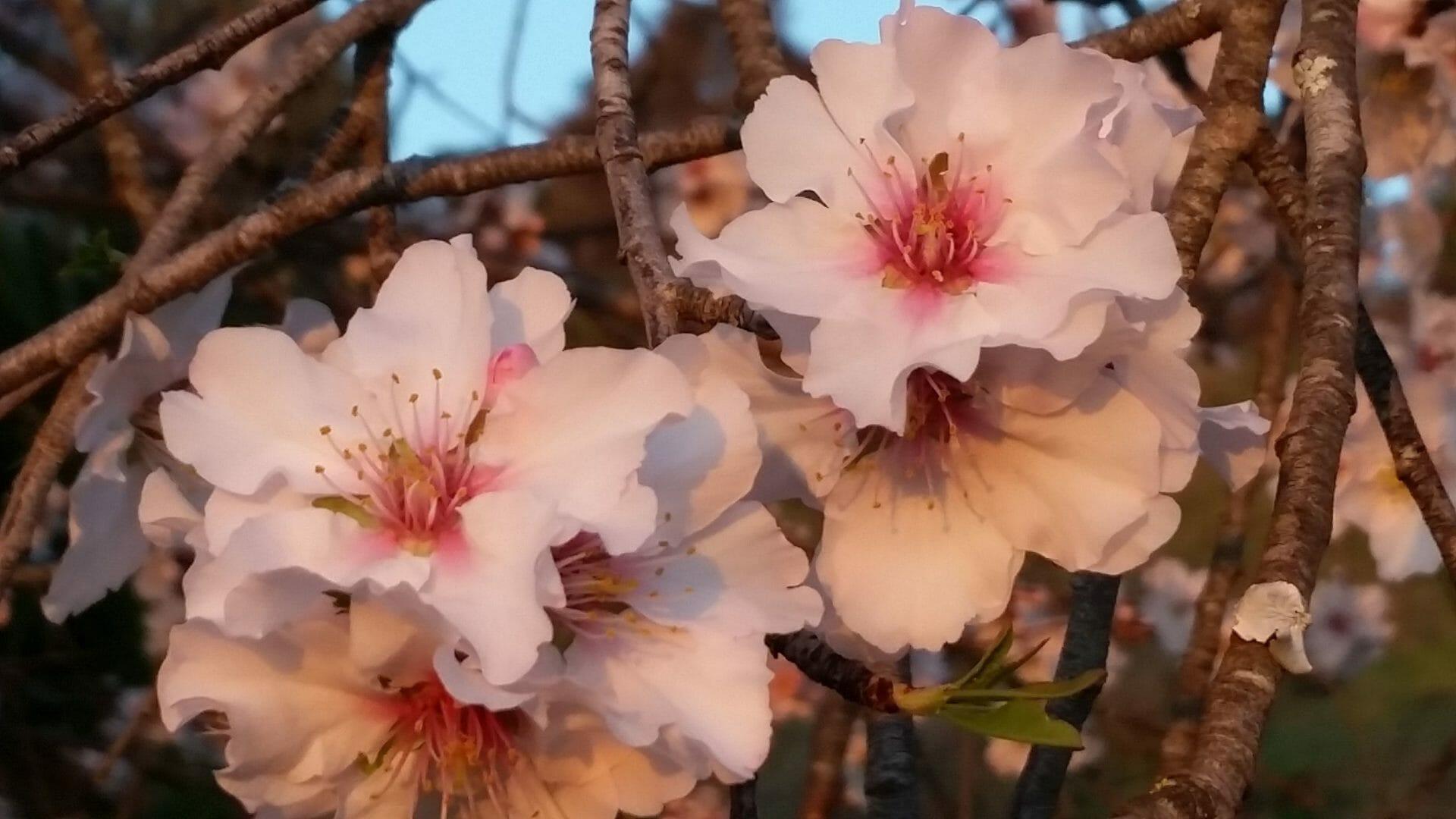 Yoga Wandern Urlaub Algarve Mandelblüte