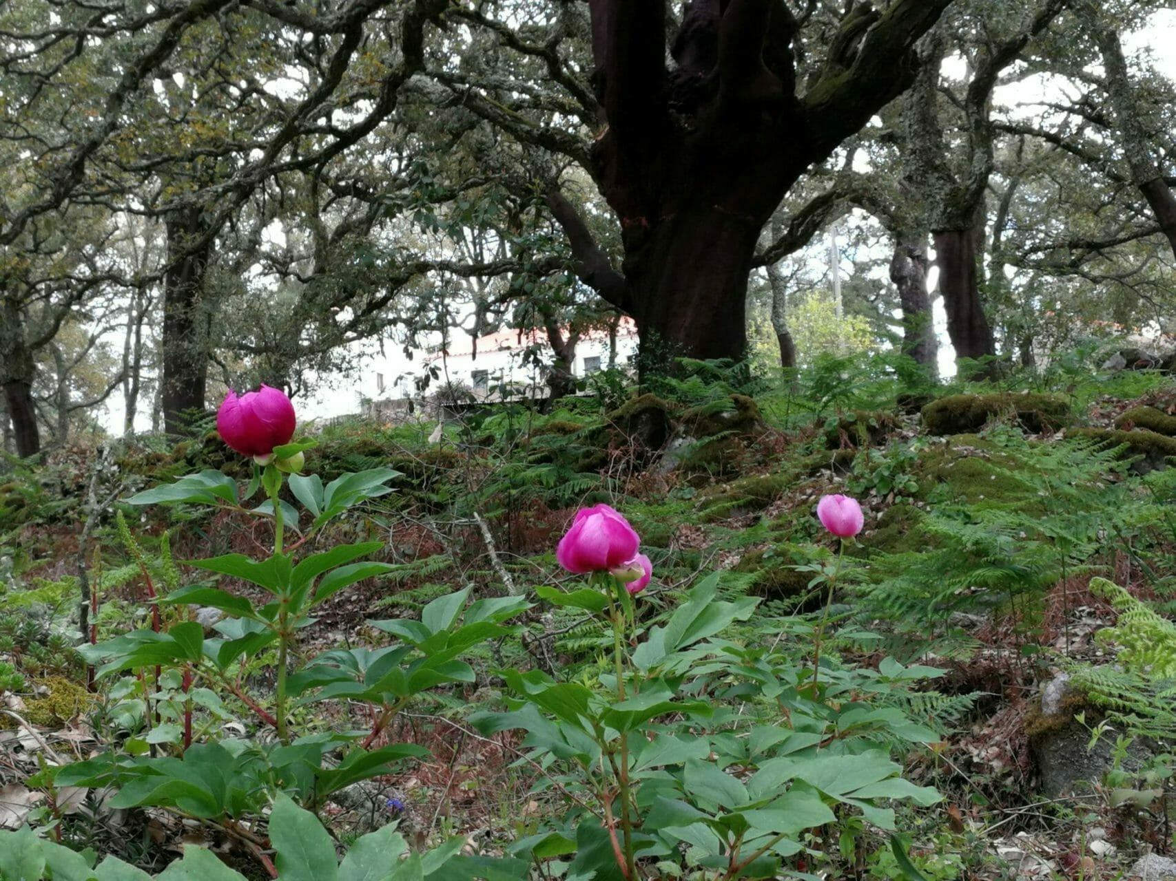 Yoga und Wandern Pfingstrose im Korkeichenwald